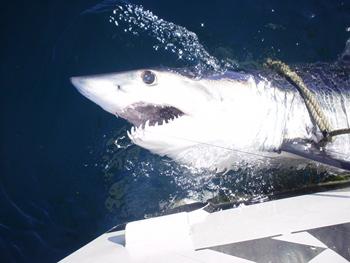 Montauk marine basin tournaments for Montauk shark fishing